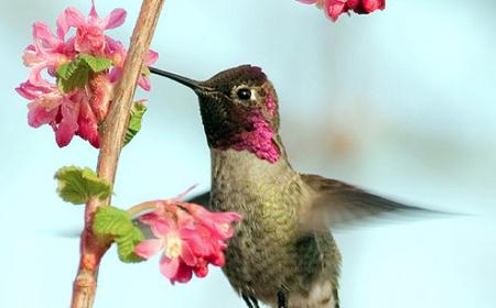 Anna's Hummingbird © Michelle Lamberson