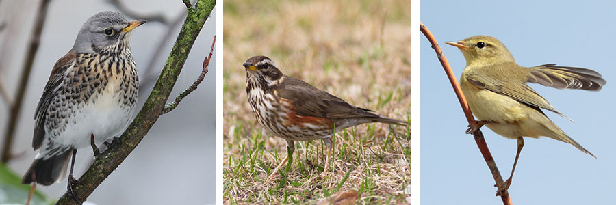willow warbler-fieldfare-redwing thrush