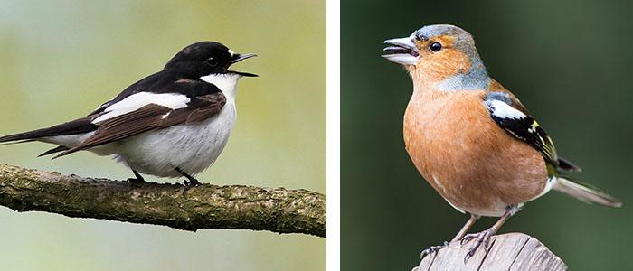 pied flycatcher / chaffinch