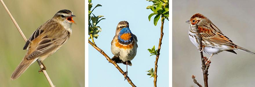 sedge warbler-bluethroat-bunting