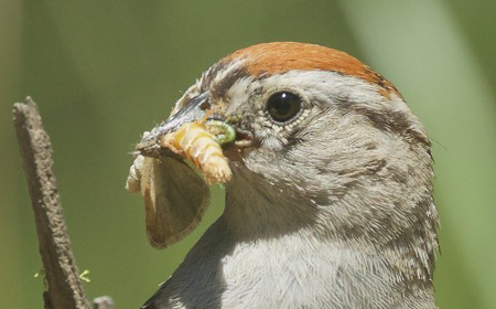 Chipping Sparrow © Gregg Thompson