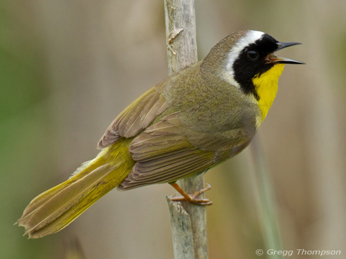 Tweets 'n' Squawks: Aprenda a Identificar Aves por Canción | BirdNote