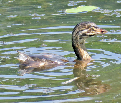 Pied Billed Grebe - juvenile