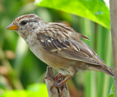 White crowned Sparrow - imm