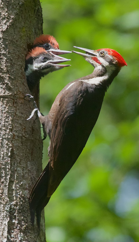 Pileated Woodpecker © Gregg Thompson