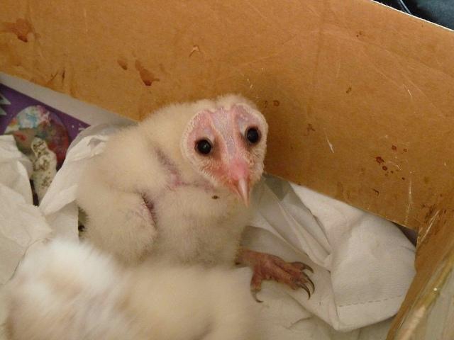 Barn Owls Let You Know | BirdNote