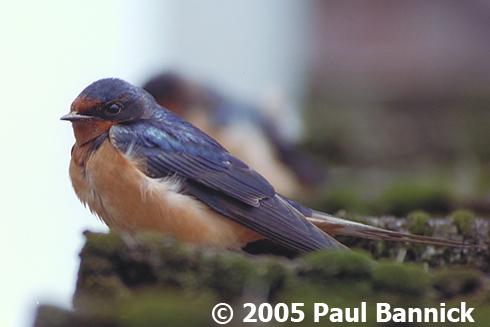 Barn Swallow Natural Pest Control Birdnote