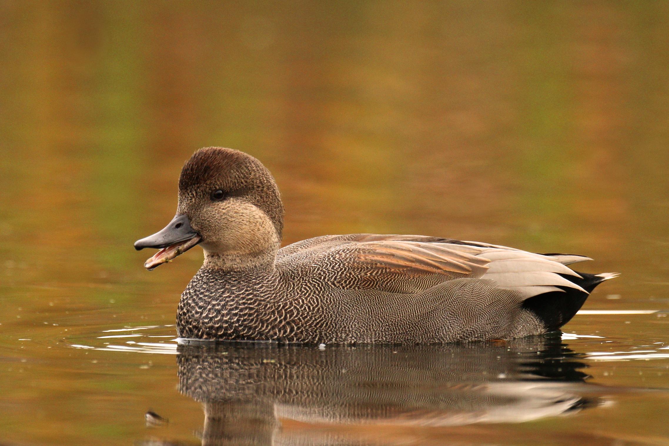 The Gorgeous Gadwall | BirdNote