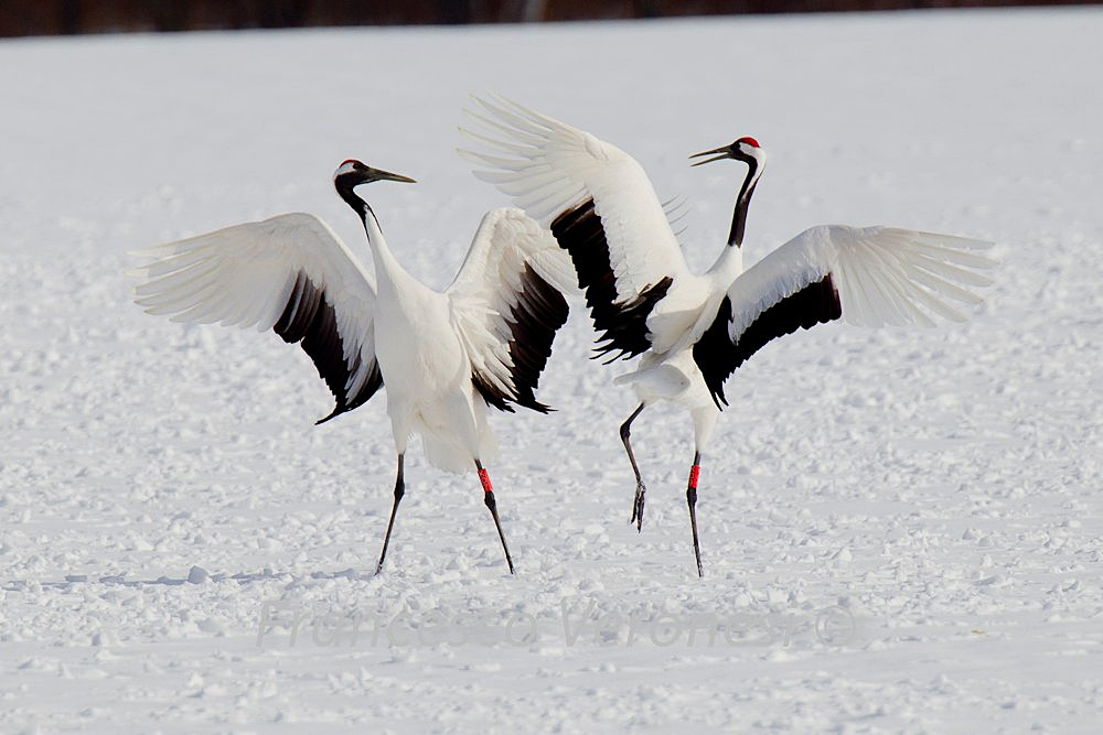 Red-crowned Cranes Dance on Hokkaido | BirdNote - photo#47