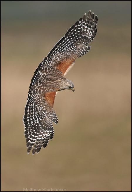 Red Shouldered Hawk One Gorgeous Bird Of Prey Birdnote