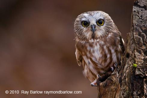 saw whet owls hoot and hoot   birdnote