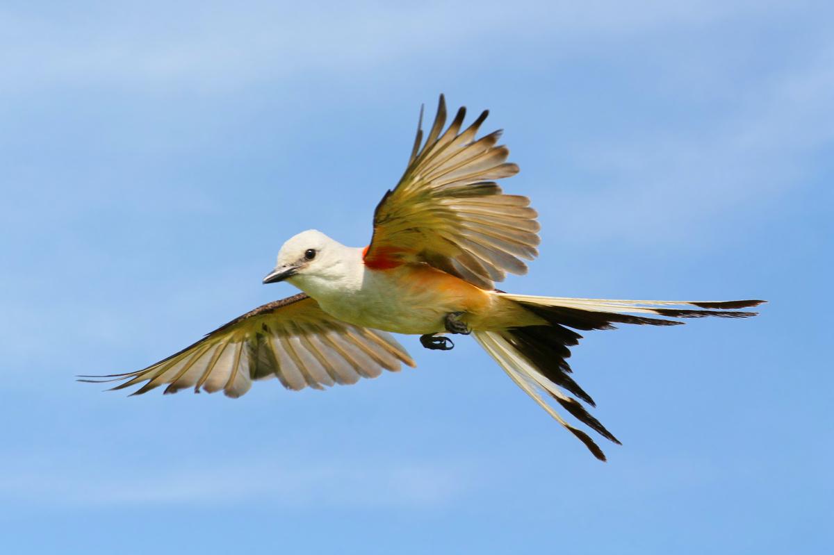 Scissor Tailed Flycatcher Birdnote