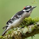 hairy woodpecker sounds jpg 853x1280