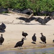 Vultures: nature's best scavengers