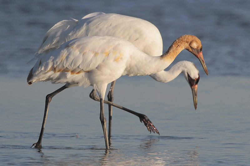 Wood Buffalo National Park >> Central Flyway Stand-out Species: Whooping Crane | BirdNote
