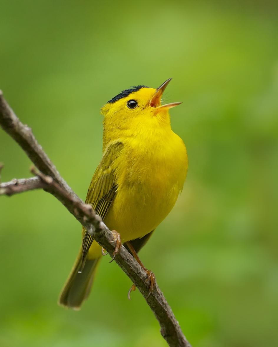 Wilson 39 S Warbler Migration Birdnote