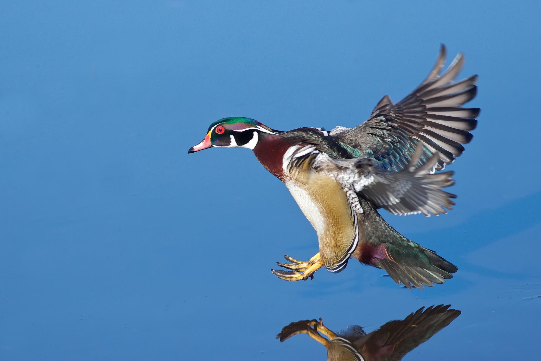 A Wood Duck Lands (4/5...