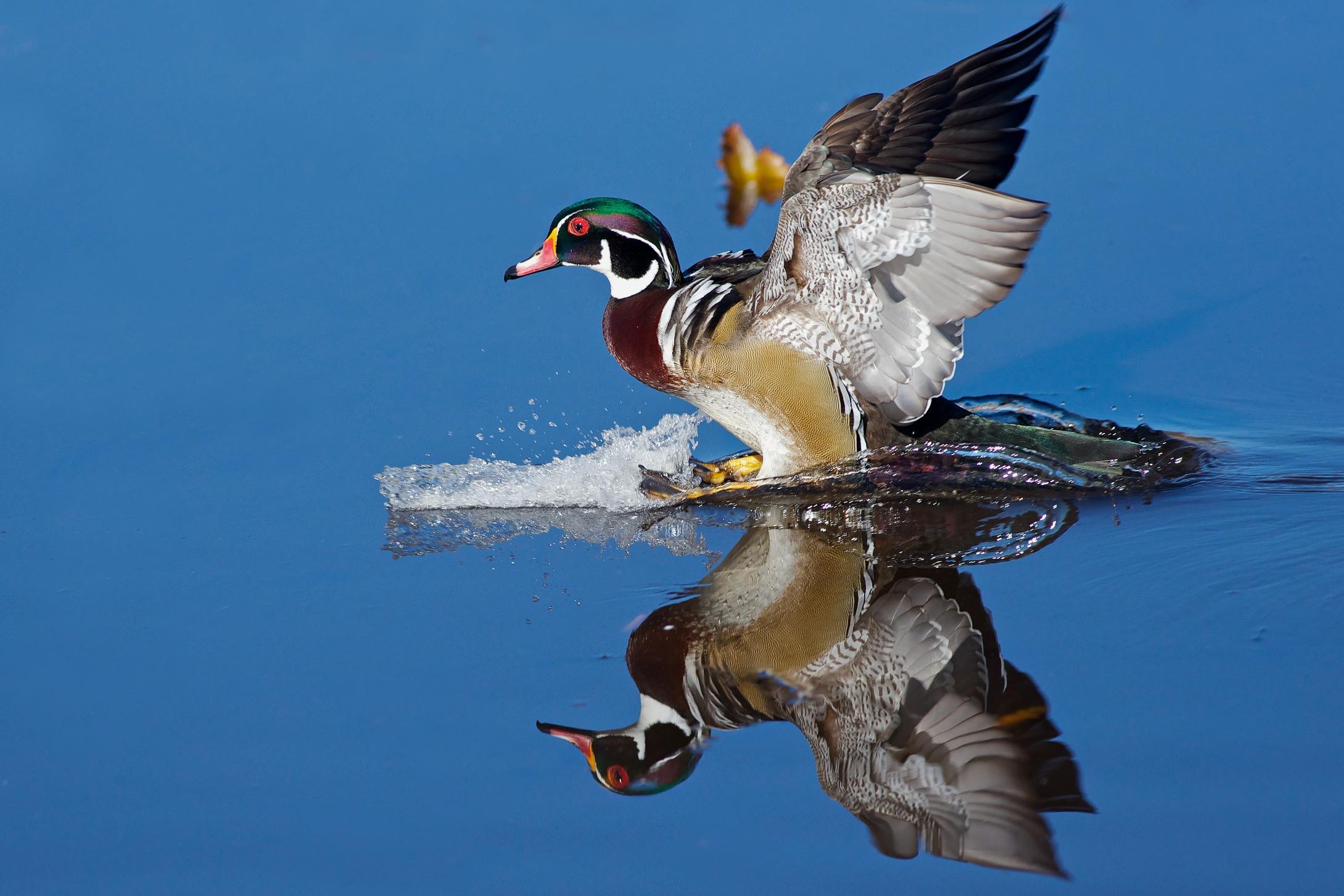 A Wood Duck Lands (5/5...