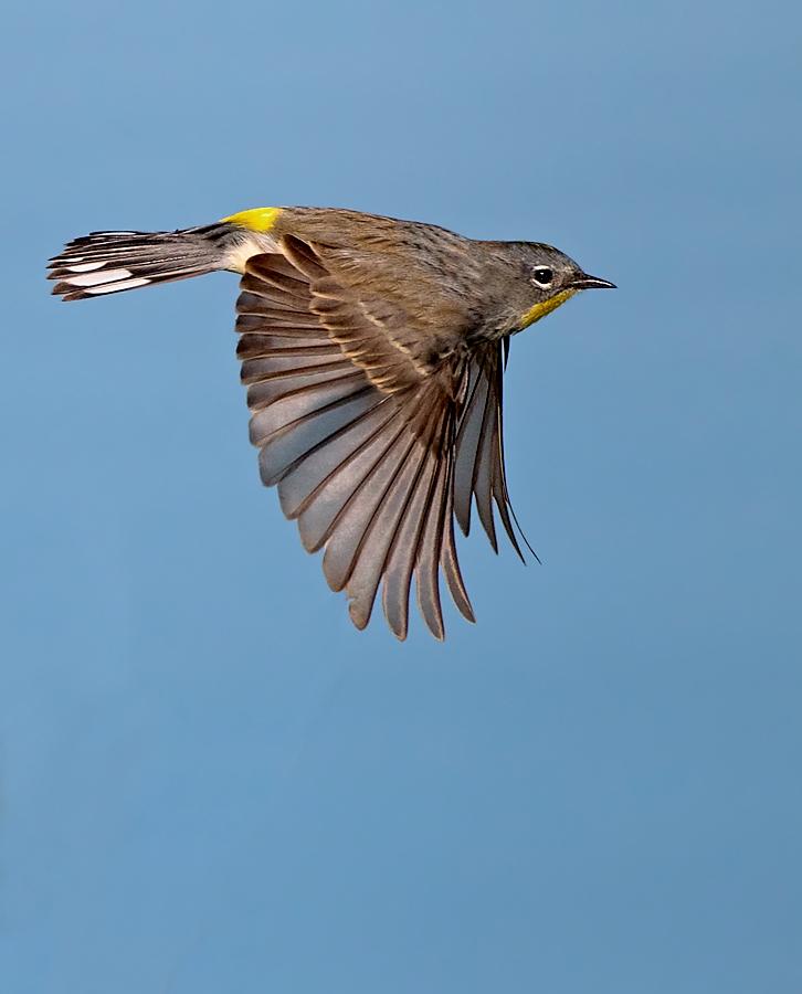 yellowrumped warbler in flight birdnote
