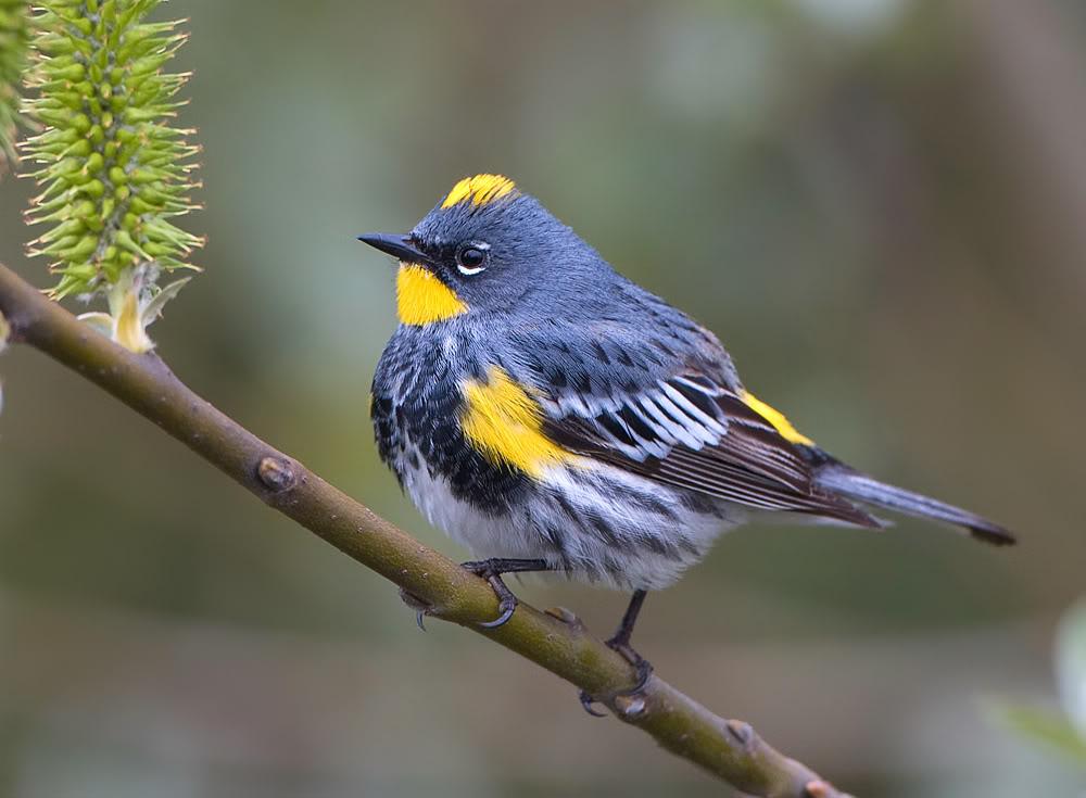 Yellow-rumped Warbler - The Winter Warbler   BirdNote