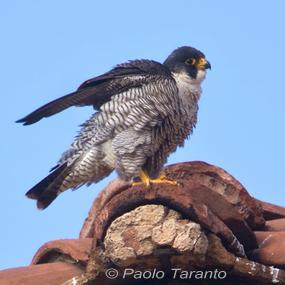 the peregrine falcons of rome birdnote. Black Bedroom Furniture Sets. Home Design Ideas