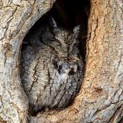 Eastern Screech Owl - Ipswich, MA - Feb. 13, 2011