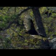 Turkey Vulture High Speed Shot on Red