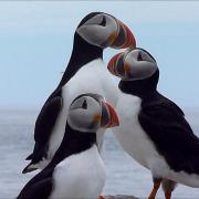 Atlantic Puffins - King of the Hill