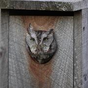 Eastern Screech Owl - Nov. 04, 2011