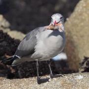 Heermann's Gull, Pt. Pinos, Monterey County, CA, 18 Dec 2011