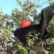 Frégate superbe (Fregata magnificens) Magnificent Frigatebird