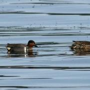 Free Clip: Green-winged Teal