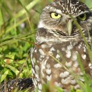 Burrowing owls of Marco Island