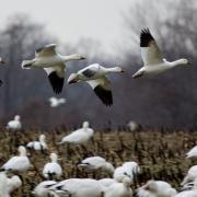 Field Guide: Snow Goose (Chen caerulescens)