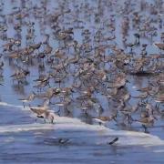 Sandpiper Migration at Ocean Shores, WA