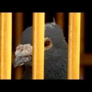 Homing Pigeon: A Bird-brained Idea - Extraordinary Animals - Series 2 - Earth