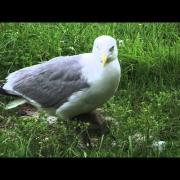 Cute Herring Gull Chicks