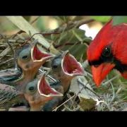 HD Northern cardinals feeding baby birds 1080