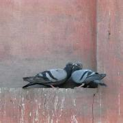 courtship behavior rock pigeon