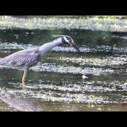 Yellow-crowned Night Heron  HD