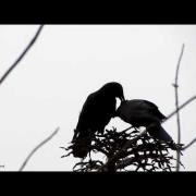 Crow Behavior - Allopreening