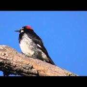 Acorn Woodpecker - Spring motives