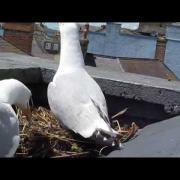 Herring Gull Bringing Sandeel To Feed Chick On Nest