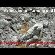 Alpenschneehuhn mit Ruf - Rock ptarmigan calling (Lagopus muta)