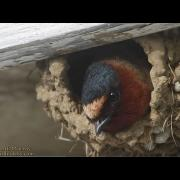 Cliff Swallows in Maine