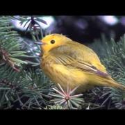 Yellow Warbler (Setophaga/Dendroica petechia)