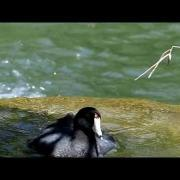 Lumix FZ200 high speed video 120fps, 720p HD, American Coot