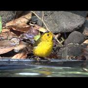 Cardellina pusilla - Wilson's Warbler