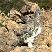 Ptarmigan Bird Song