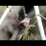Birds of the Pacific Northwest: The Pacific Wren